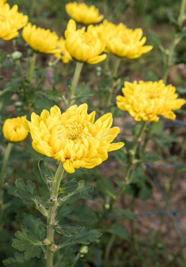 Il crisantemo giallo fresco sta fiorendo fotografia stock libera da diritti