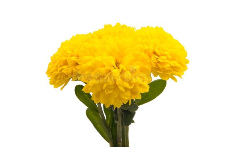 Il crisantemo giallo ha isolato fotografia stock