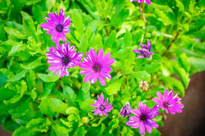 Il crisantemo viola fiorisce con il centro scuro su sfondo naturale immagini stock libere da diritti