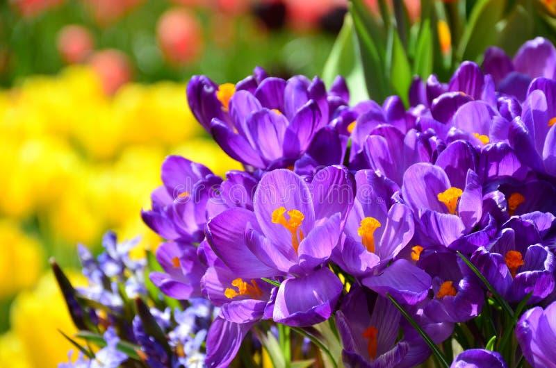 Il croco di festa della primavera fiorisce il fondo immagini stock libere da diritti