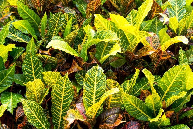 Il Croton variopinto lascia il fondo Pianta del Croton Il Croton lascia il fondo fotografie stock libere da diritti