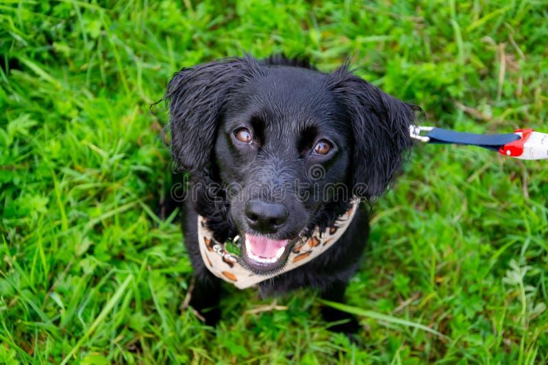 Il cucciolo ascolta il proprietario ed esegue le funzioni sul comando Cane obbediente ed intelligente su una passeggiata fotografia stock libera da diritti