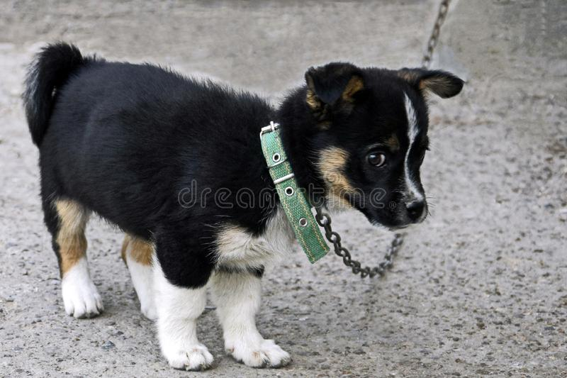 Il cucciolo in bianco e nero lanuginoso sveglio con uno sguardo premuroso abile custodice la casa dei suoi proprietari immagini stock