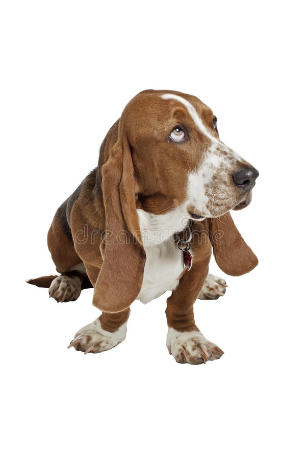Il cucciolo blu del segugio di bassotto si siede lo sguardo in su fotografie stock