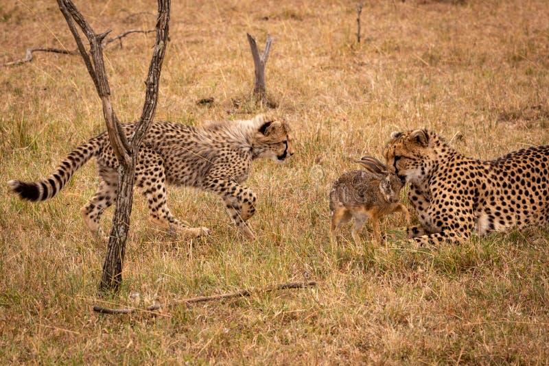 Il cucciolo cammina verso il ghepardo che mordere sfrega la lepre immagini stock