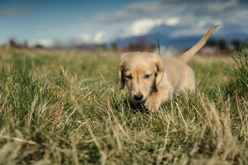 Il cucciolo del Dachshund cammina nell'erba lunga fotografia stock libera da diritti