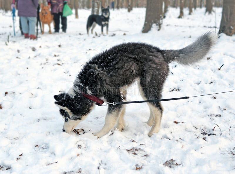 Il cucciolo del husky annusa il suolo immagini stock