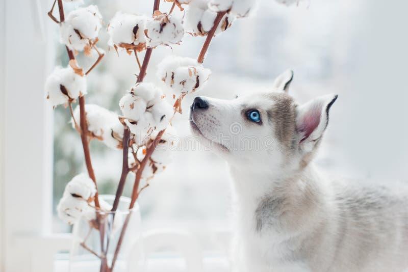 Il cucciolo del husky fiuta i rami del cotone fotografie stock