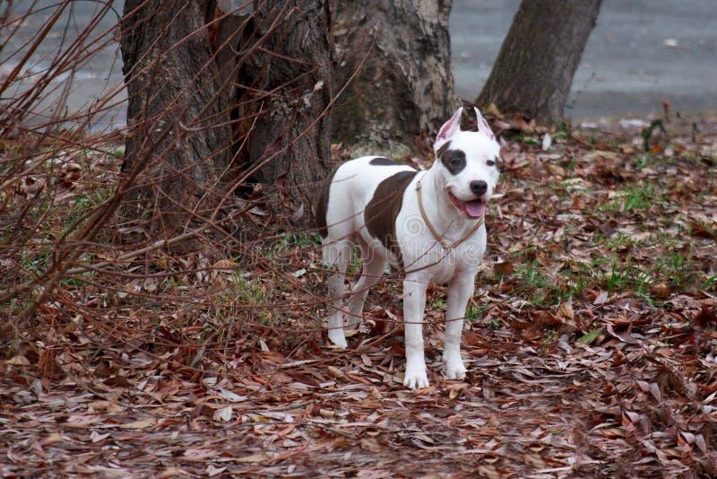 Il cucciolo del terrier di Staffordshire americano sta stando vicino ad un grande albero Di sei mesi fotografie stock