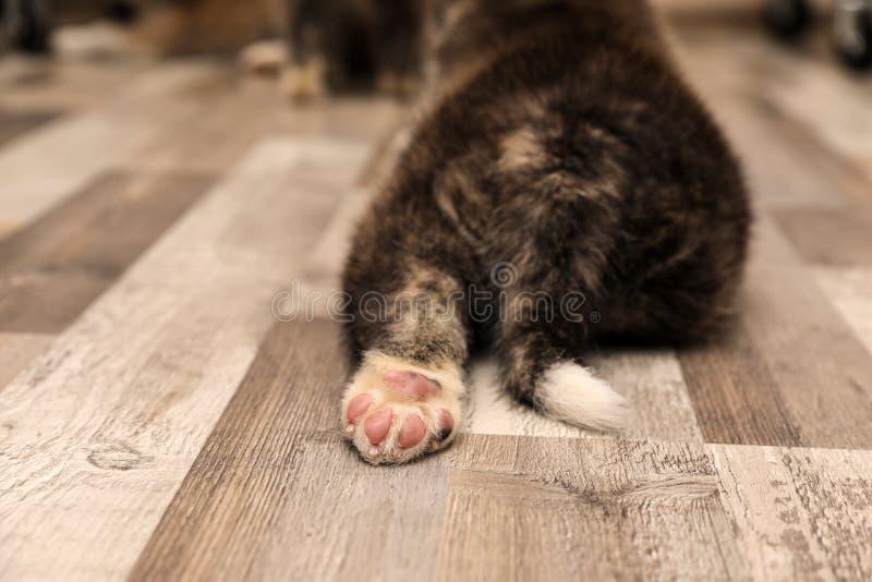 Il cucciolo di Akita inu sul pavimento, vista di chiusura della zampa Cane canino fotografia stock