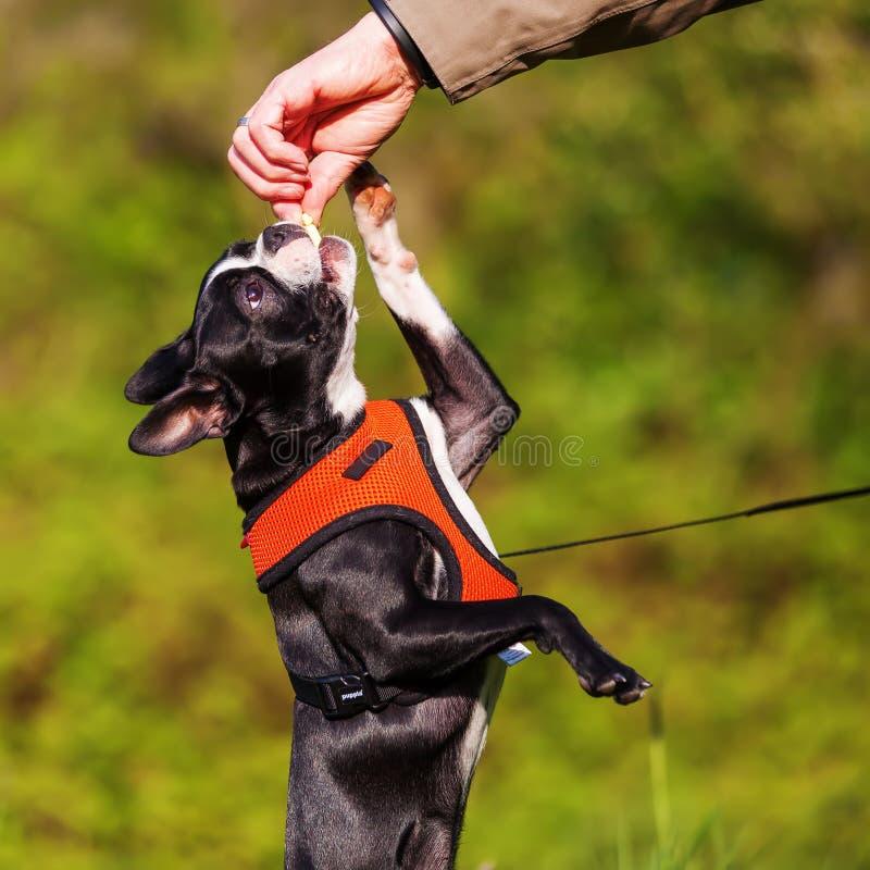 Il cucciolo di Boston Terrier ottiene un ossequio dalla mano del ` s dell'uomo immagini stock