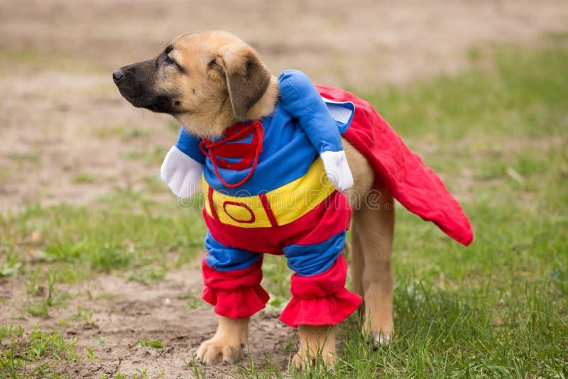Il cucciolo di cane fiero marrone sveglio divertente in superman costume all'aperto fotografia stock