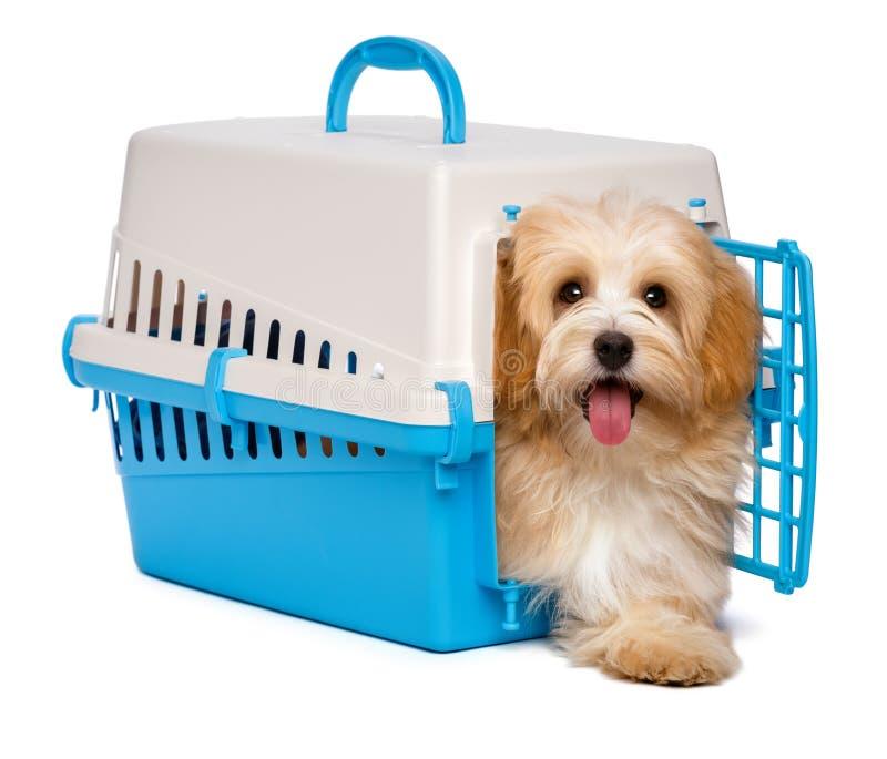 Il cucciolo di cane havanese felice sveglio è punto fuori da una cassa dell'animale domestico fotografia stock libera da diritti