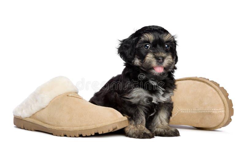 Il cucciolo di cane havanese felice sveglio sta sedendosi accanto alle pantofole immagine stock
