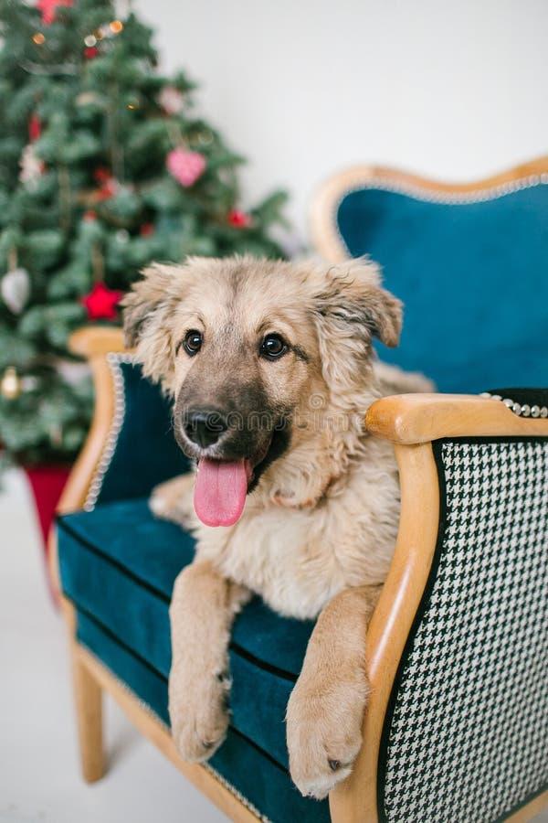 Il cucciolo di cane sveglio vicino ha decorato l'albero di Natale in studio fotografie stock libere da diritti