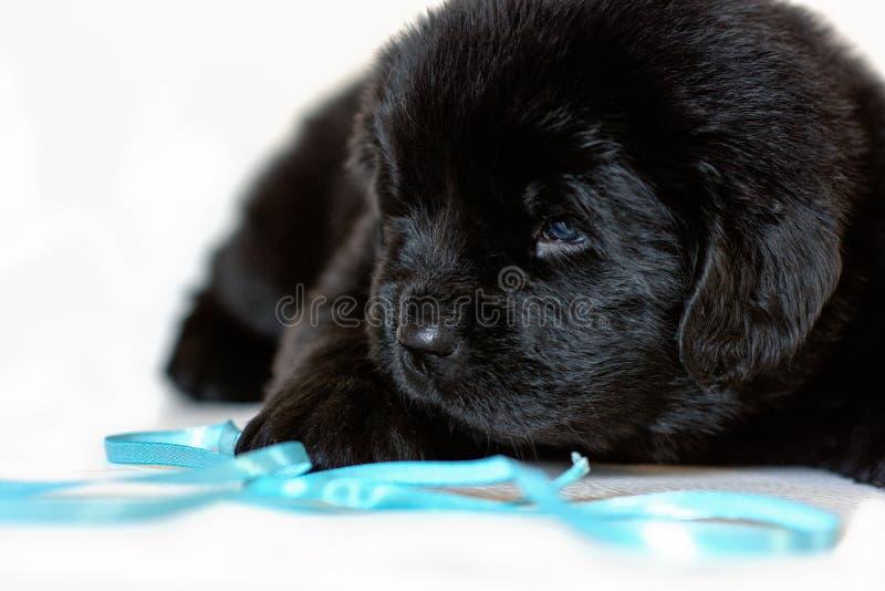 Il cucciolo di cane di Terranova si trova triste, su un fondo bianco immagine stock libera da diritti