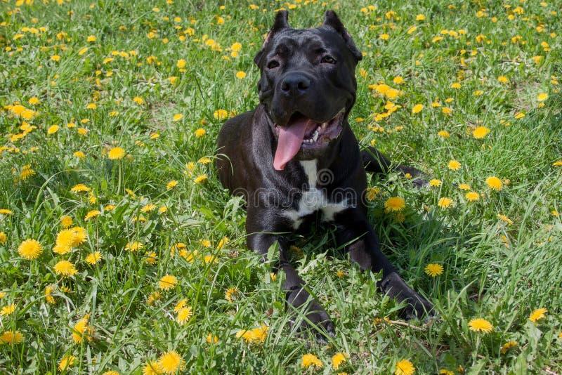 Il cucciolo di corso della canna sta trovandosi in un'erba verde Italiano di corso della canna o mastino italiano Animali da comp fotografie stock