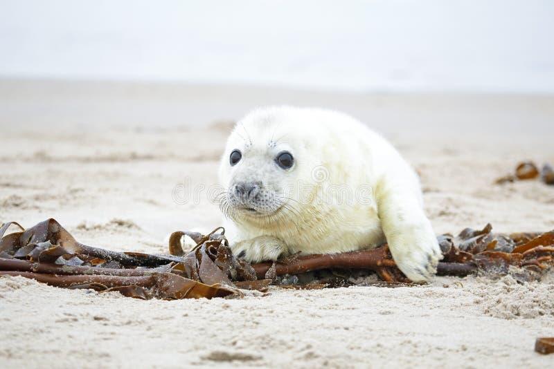 Il cucciolo di foca grigio bianco guarda inquisitore con grande fotografia stock libera da diritti