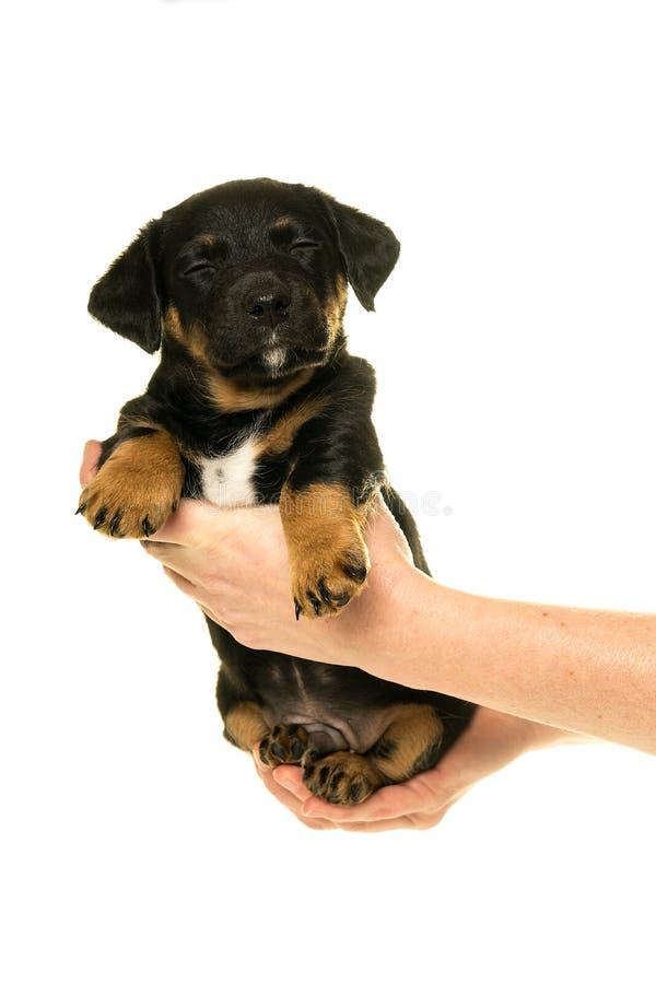 Il cucciolo di Jack Russel ha tenuto in mani isolate nel bianco fotografia stock libera da diritti