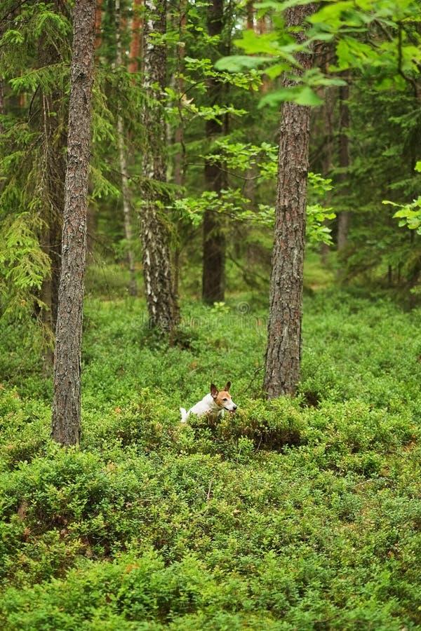 Il cucciolo di Jack Russell di avventura passa la foresta immagini stock libere da diritti