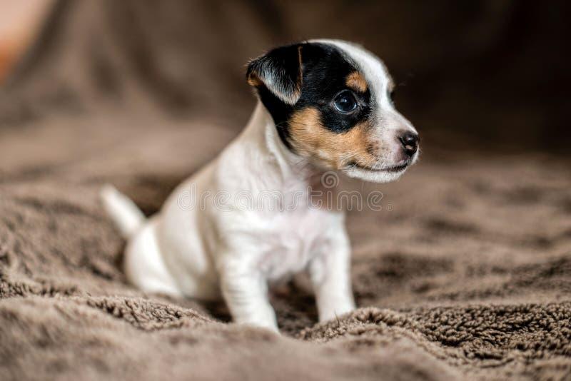 Il cucciolo di Jack Russell si siede sulla coperta marrone e guarda intorno fotografie stock libere da diritti