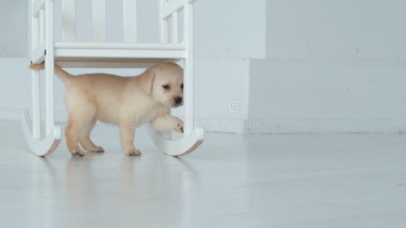 Il cucciolo di Labrador cammina sotto una sedia in una stanza bianca fotografia stock libera da diritti