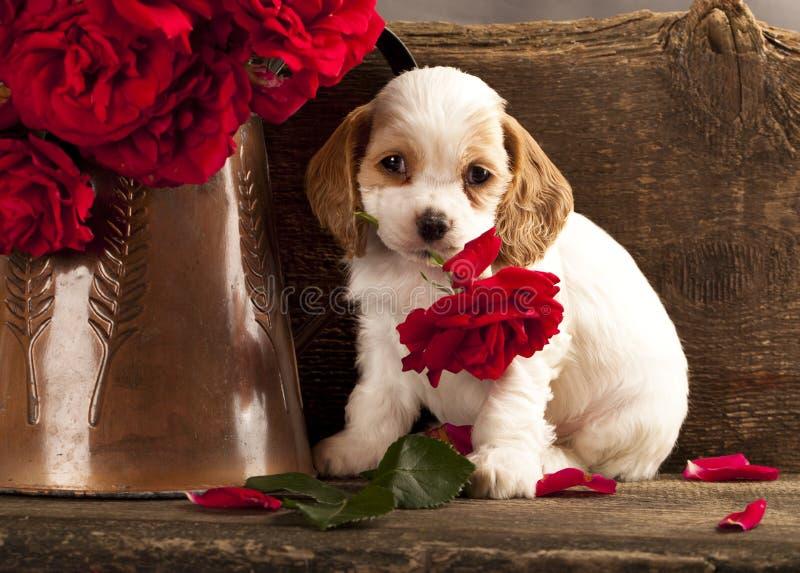 Il cucciolo ed il fiore dello Spaniel di Cocker sono aumentato immagini stock
