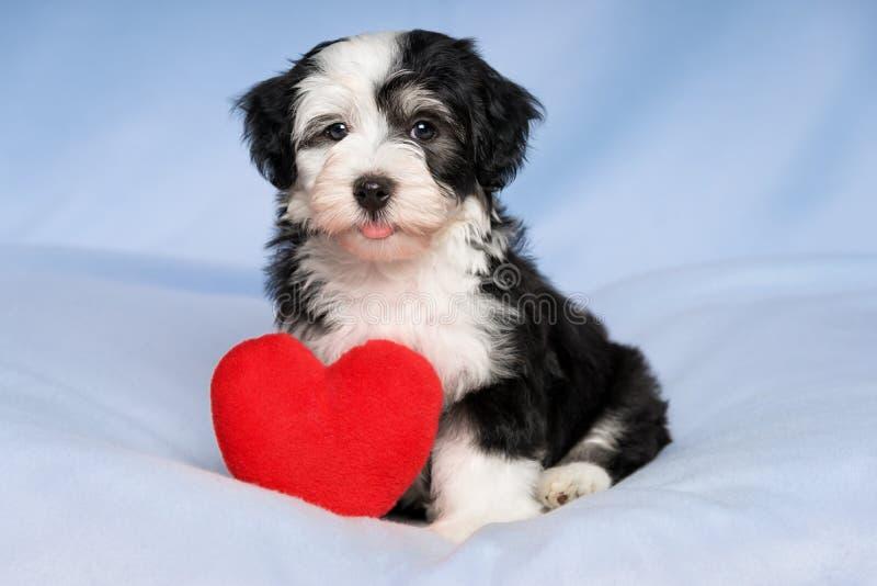 Il cucciolo felice di Valentine Havanese dell'amante sta sedendosi su un blanke blu fotografia stock libera da diritti