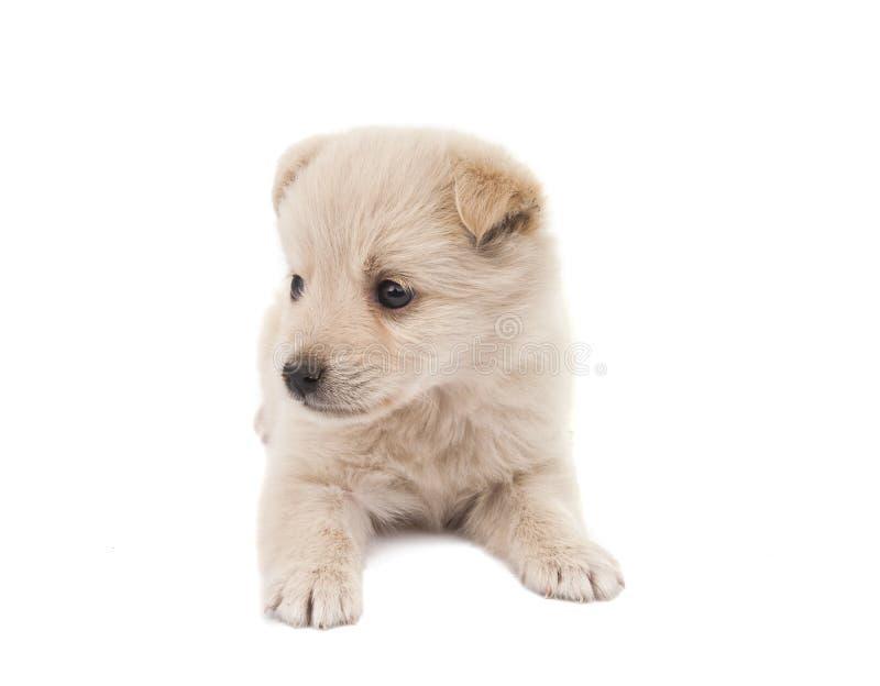 Il cucciolo ha isolato fotografia stock libera da diritti