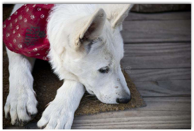 Il cucciolo ha messo la sua testa sul pavimento fotografie stock libere da diritti