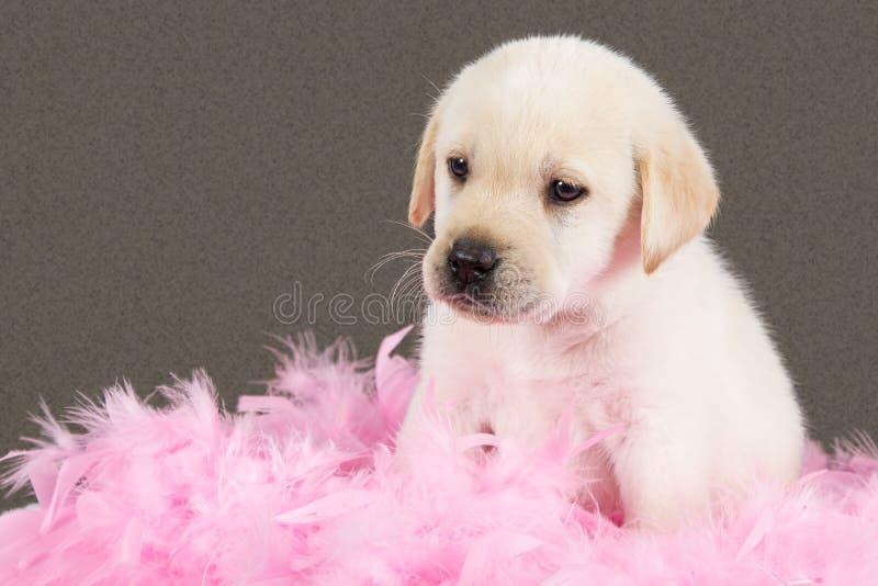 Il cucciolo stanco di labrador si siede sulle piume rosa immagini stock