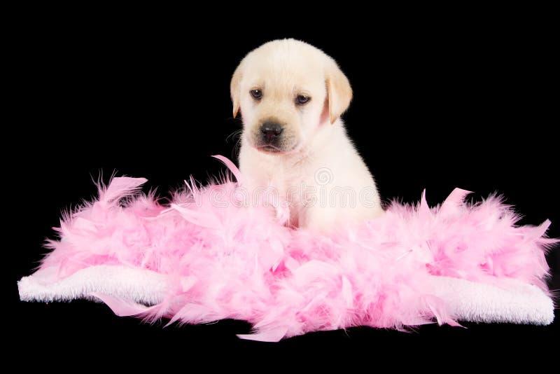 Il cucciolo stanco di labrador si siede sulle piume rosa fotografia stock
