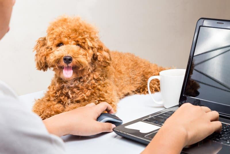 Il cucciolo sveglio del barboncino accompagna la persona che lavora con il computer portatile sulla scrivania fotografie stock libere da diritti