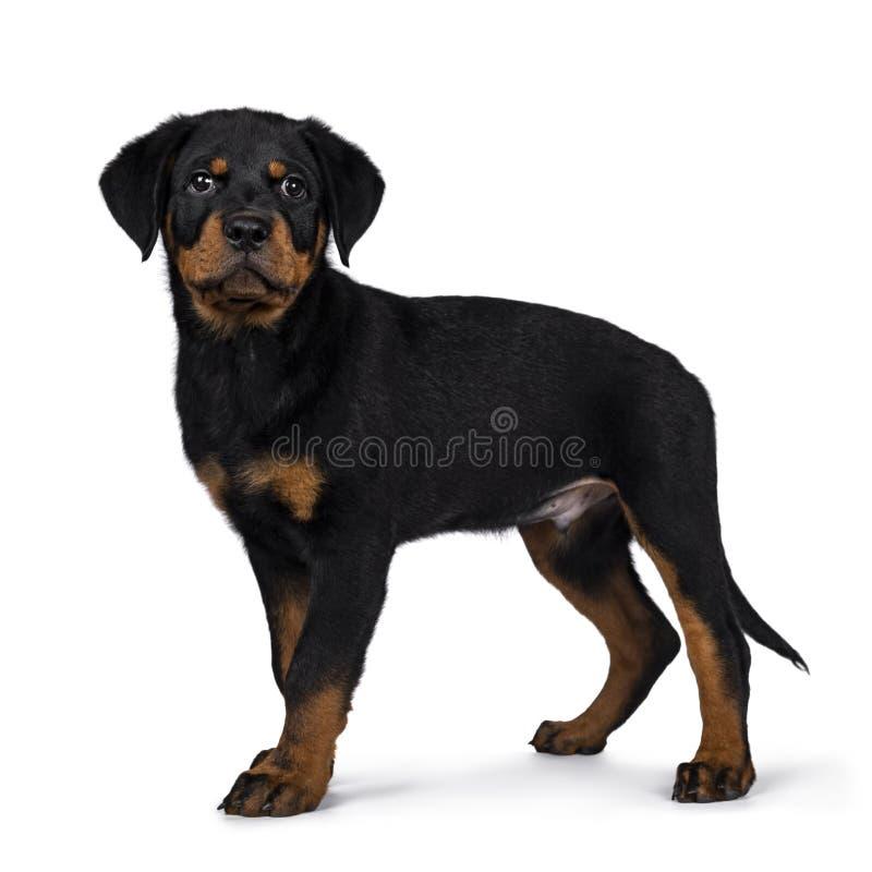 Il cucciolo sveglio del cane di Rottweiler, munisce l'attaccatura di coda giù fotografia stock