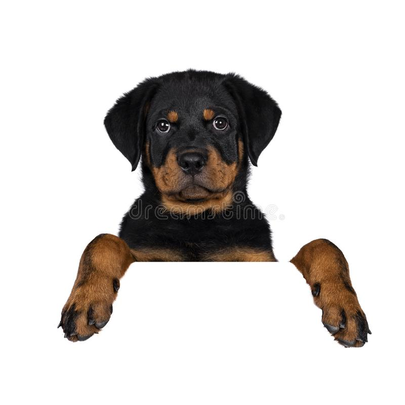 Il cucciolo sveglio del cane di Rottweiler, munisce l'attaccatura di coda giù fotografie stock libere da diritti