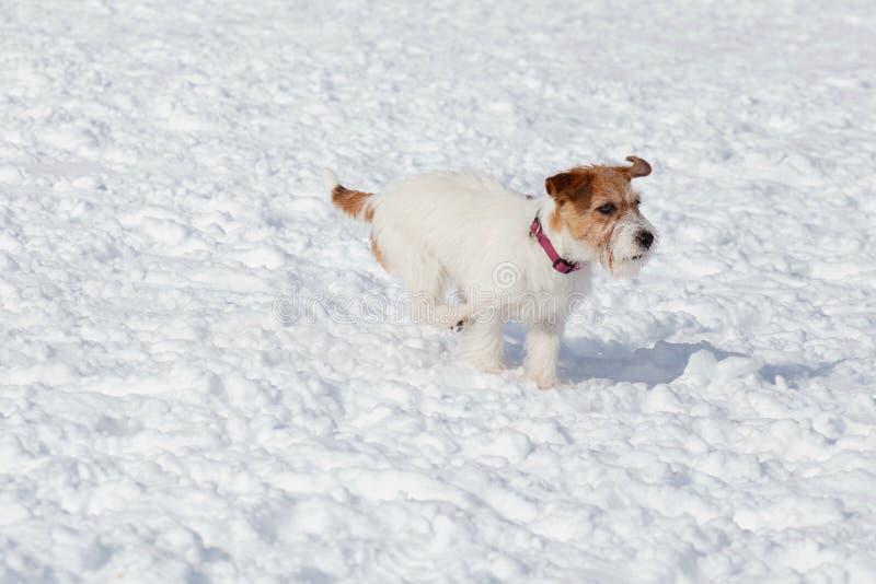 Il cucciolo sveglio del terrier di russell della presa sta correndo sulla neve bianca Animali da compagnia fotografie stock libere da diritti