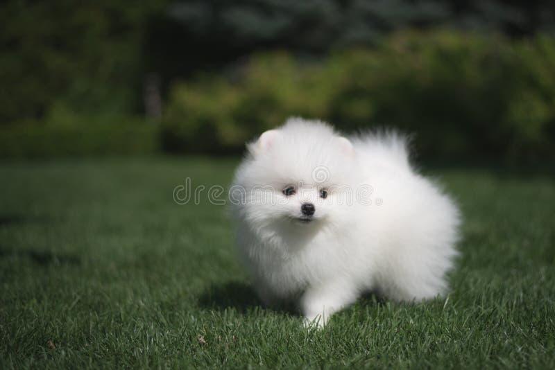 Il cucciolo tedesco dello spitz del piccolo bello cane bianco divertente sui funzionamenti dell'erba verde gioca e si siede fotografie stock libere da diritti