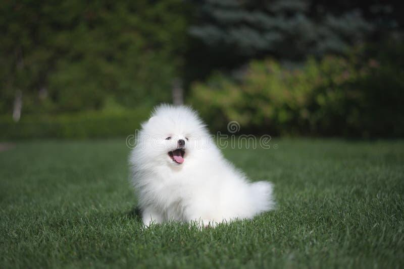 Il cucciolo tedesco dello spitz del piccolo bello cane bianco divertente sui funzionamenti dell'erba verde gioca e si siede fotografia stock libera da diritti