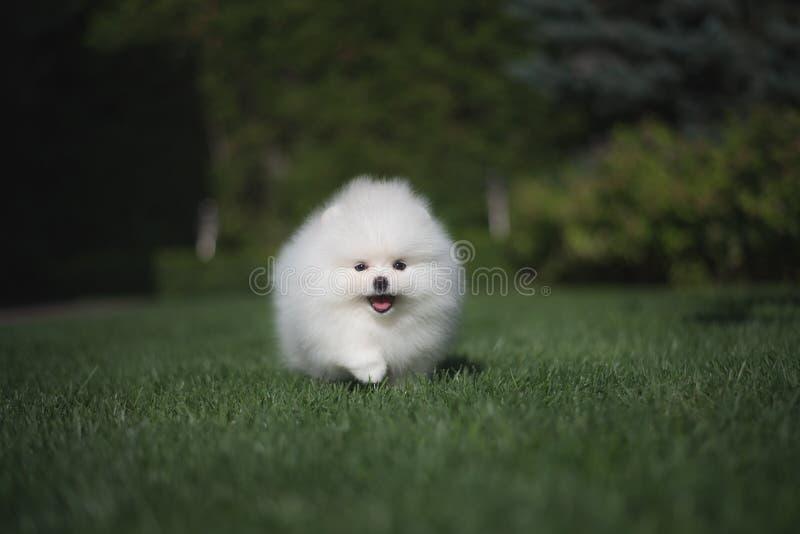 Il cucciolo tedesco dello spitz del piccolo bello cane bianco divertente sui funzionamenti dell'erba verde gioca e si siede fotografia stock