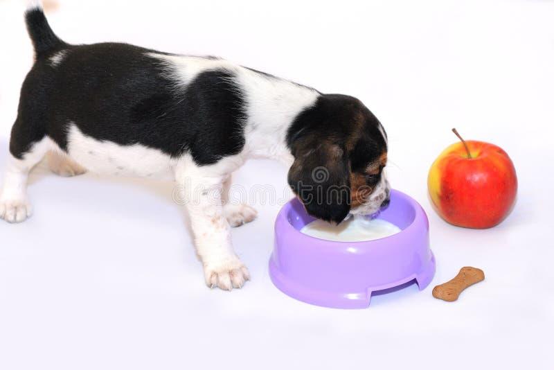 Il cucciolo Tri-color del cane da lepre beve il latte fotografie stock libere da diritti