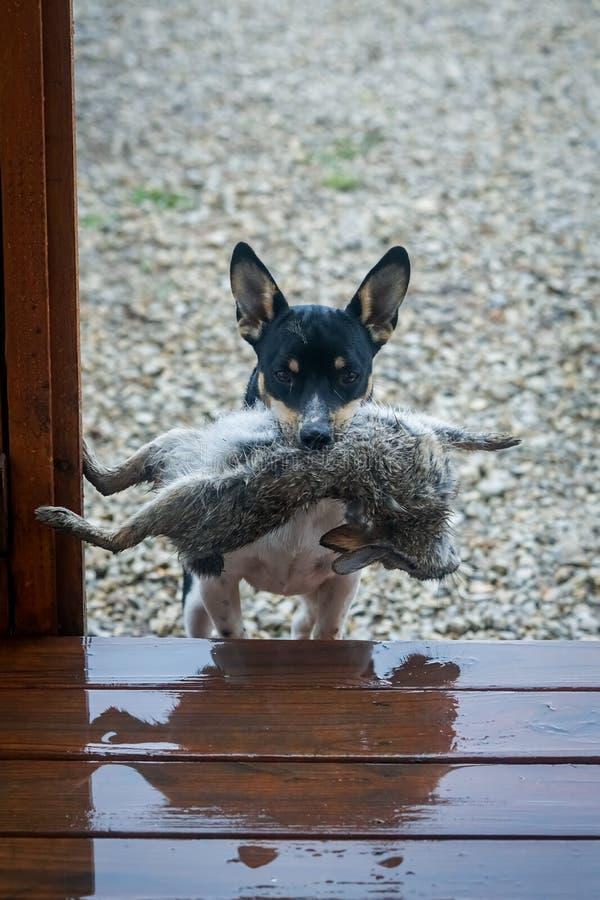 Il cucciolo uccide il coniglio fotografia stock libera da diritti