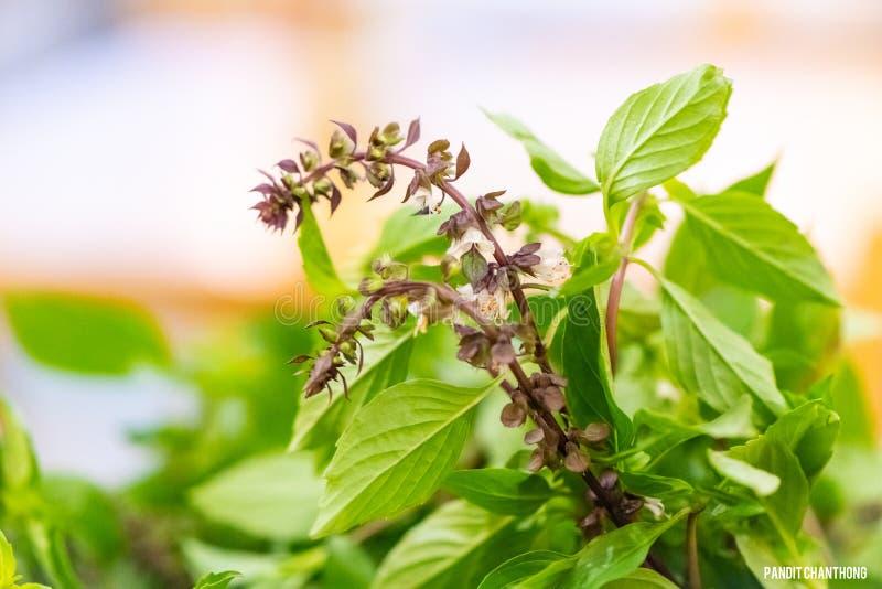 il cuoco unico prepara le foglie fresche del basilico per la cottura dell'alimento tailandese foglia di verdure asiatica del basi fotografie stock