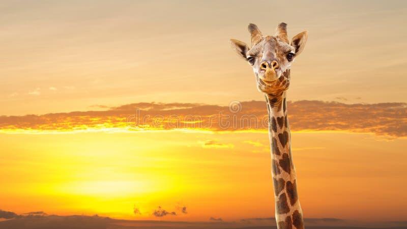 Il cuore della giraffa macchia l'alba africana immagine stock