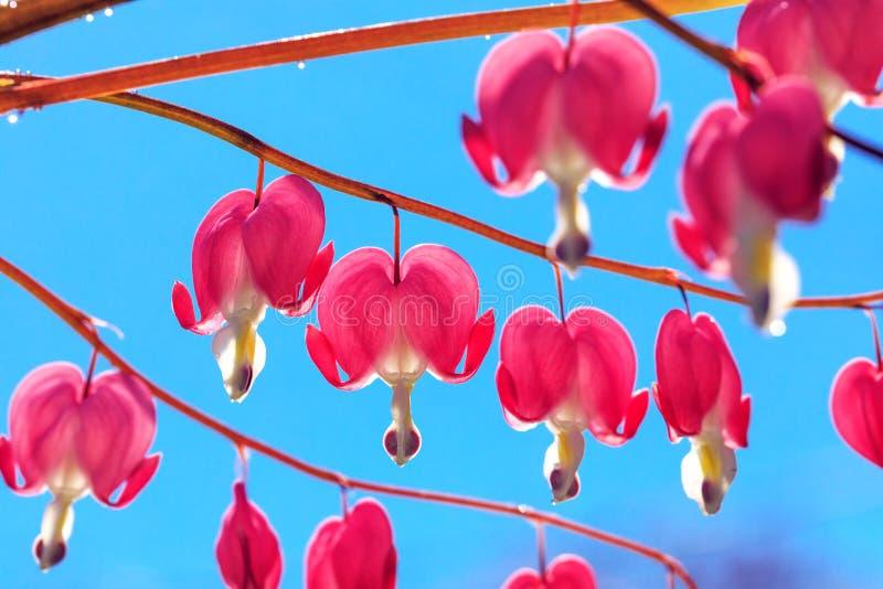 Il cuore di emorragia rosa fiorisce il mazzo su fondo di cielo blu B fotografia stock