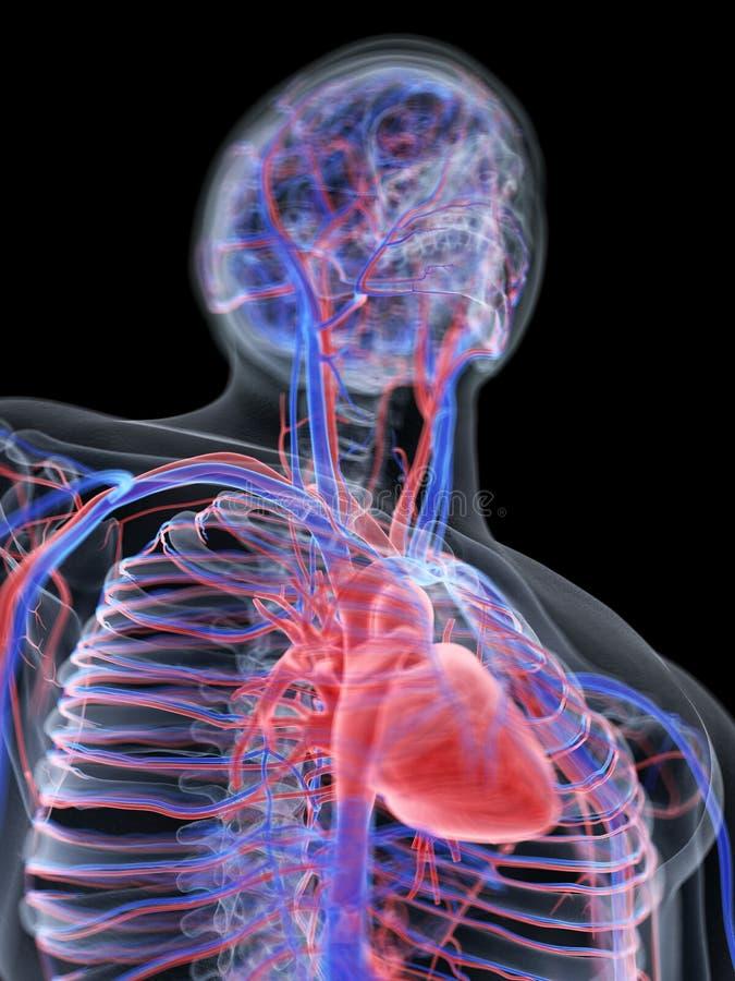 Il cuore ed il sistema vascolare illustrazione vettoriale