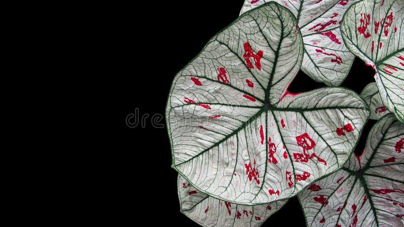 Il cuore ha modellato il Caladium operato Angel Wings della foglia o il cuore di Gesù fotografia stock