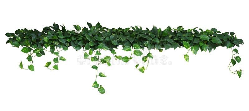 Il cuore ha modellato le foglie gialle verdi dell'edera del ` s del diavolo o del pothos dorato fotografie stock libere da diritti