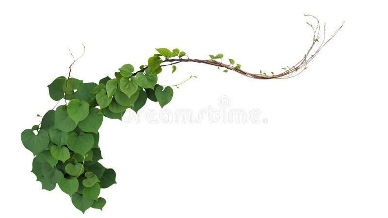 Il cuore ha modellato le foglie verdi del obsc oscuro dell'ipomoea di ipomea fotografia stock libera da diritti
