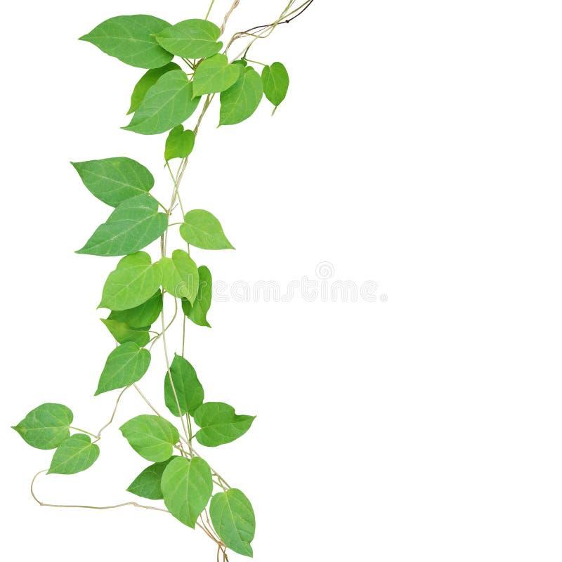 Il cuore ha modellato le viti climbling della foglia verde isolate su backgr bianco immagini stock libere da diritti