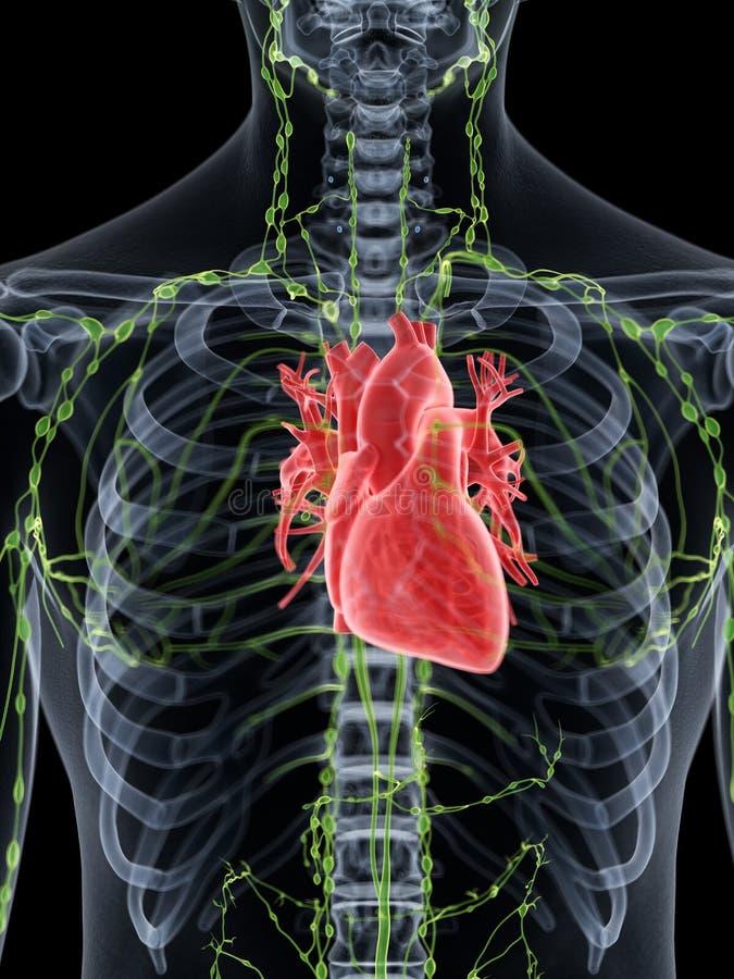 Il cuore umano royalty illustrazione gratis